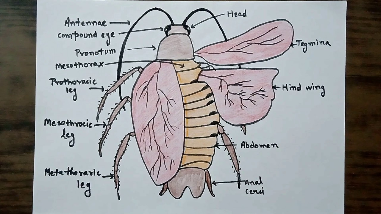 well labelled cockroach diagram colored cockroach figure for class 11 and 12 [ 1280 x 720 Pixel ]