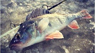 Зимняя рыбалка на окуня | Рыбалка на Чудском озере |  Iseseisvusepäeva ahven Peipsil(Ловля окуня со льда Чудского озера в феврале. Ловля на мушку комбайном. Подписывайтесь, ставьте лайки, комме..., 2017-03-02T14:53:21.000Z)
