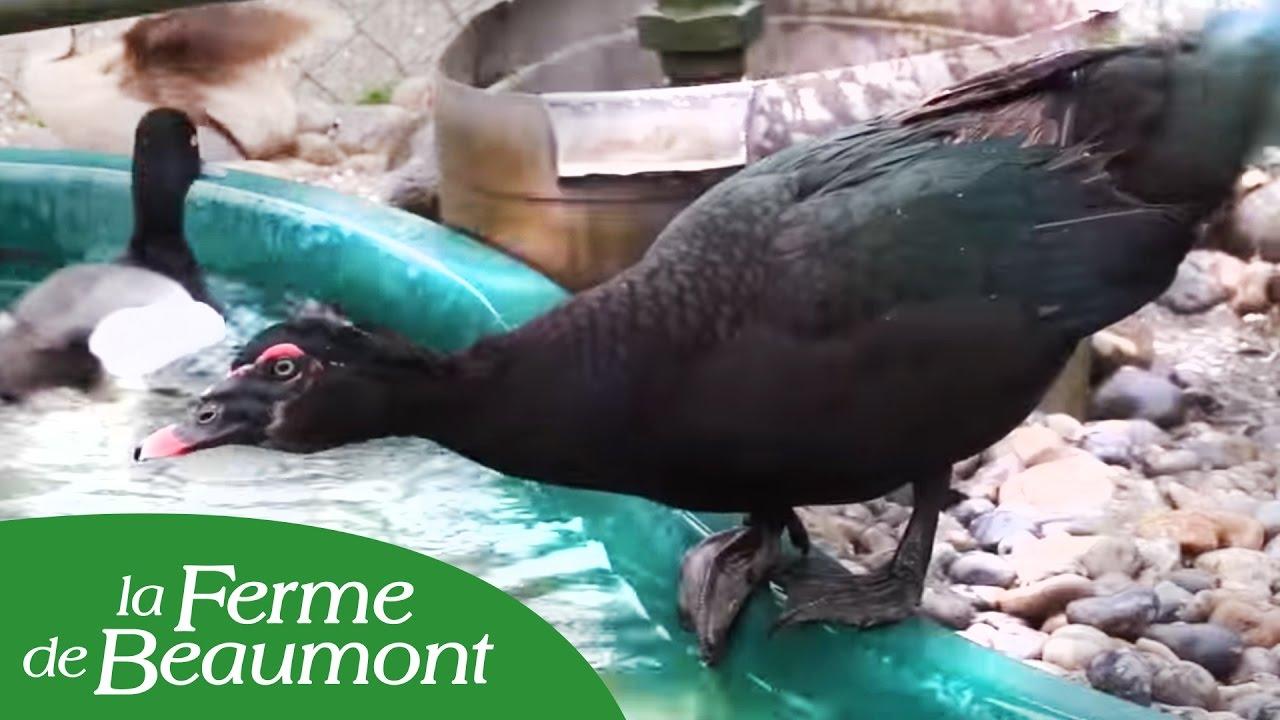 Le canard de barbarie youtube - Cuisiner les aiguillettes de canard ...