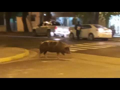 Un chancho recorrió las calles de Paraná...
