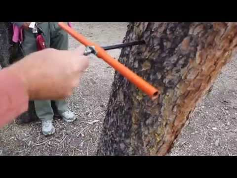 Taking a tree core sample - 275 year old Lodgepole Pine in Colorado