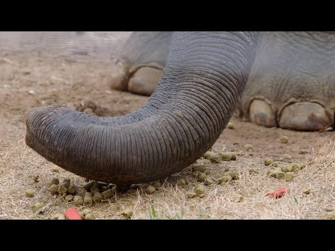 What Do Elephants Use Their Trunks For?