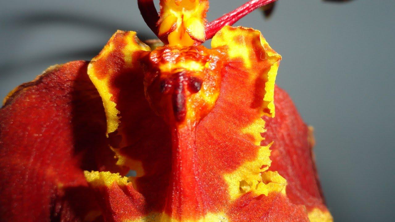 ОрхидеиВиды орхидейфото и видео орхидеи уход за
