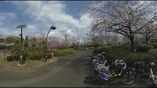 Sakura in Sarue Onshinn Kouen, Japan thumbnail