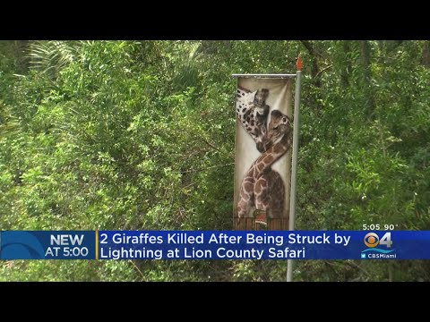 PM Tampa Bay with Ryan Gorman - Lightning Stuck and Killed Two Giraffes at a Florida Wildlife Park