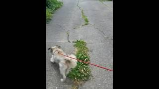 Remy is a Havanese/Tibetan Terrier who is leash reactive and unable...