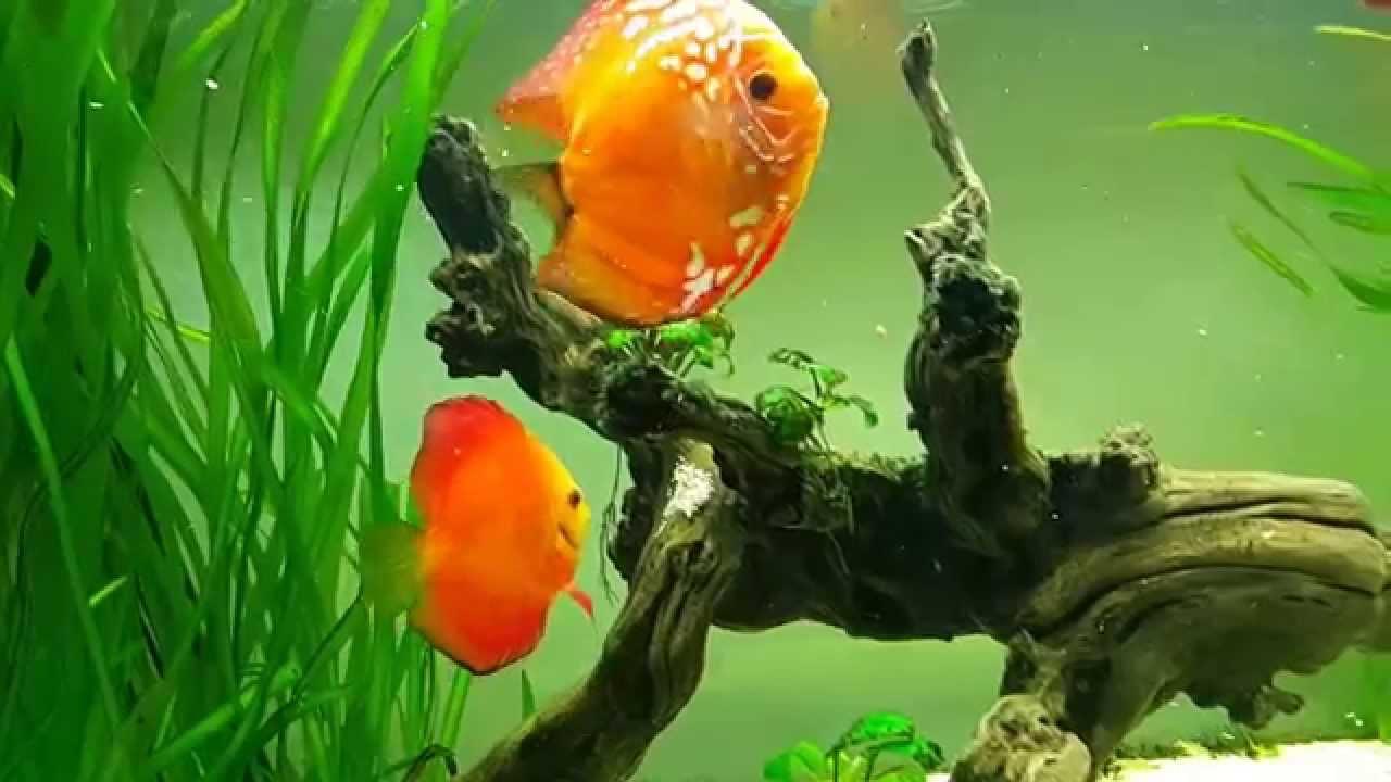 Дискусы 05.01.15 Discus fish.