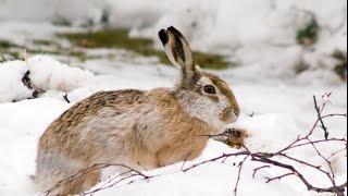 Охота с хаски и русским охотничьим спаниелем на зайца и курапатку