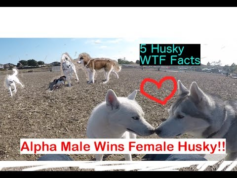 Alpha Male Siberian Husky Wins Babe, Top 5 Husky WTF Facts!