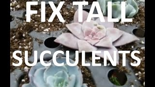 How to Fix Leggy Succulents after winter!