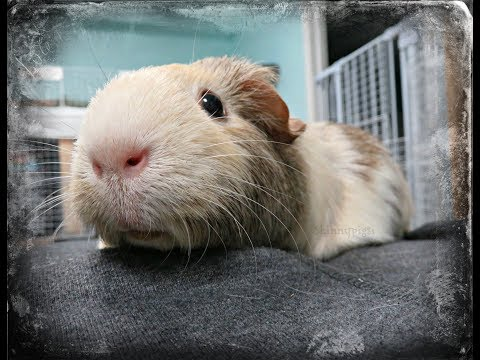 This Could Save Your Guinea Pigs Life: Probiotics
