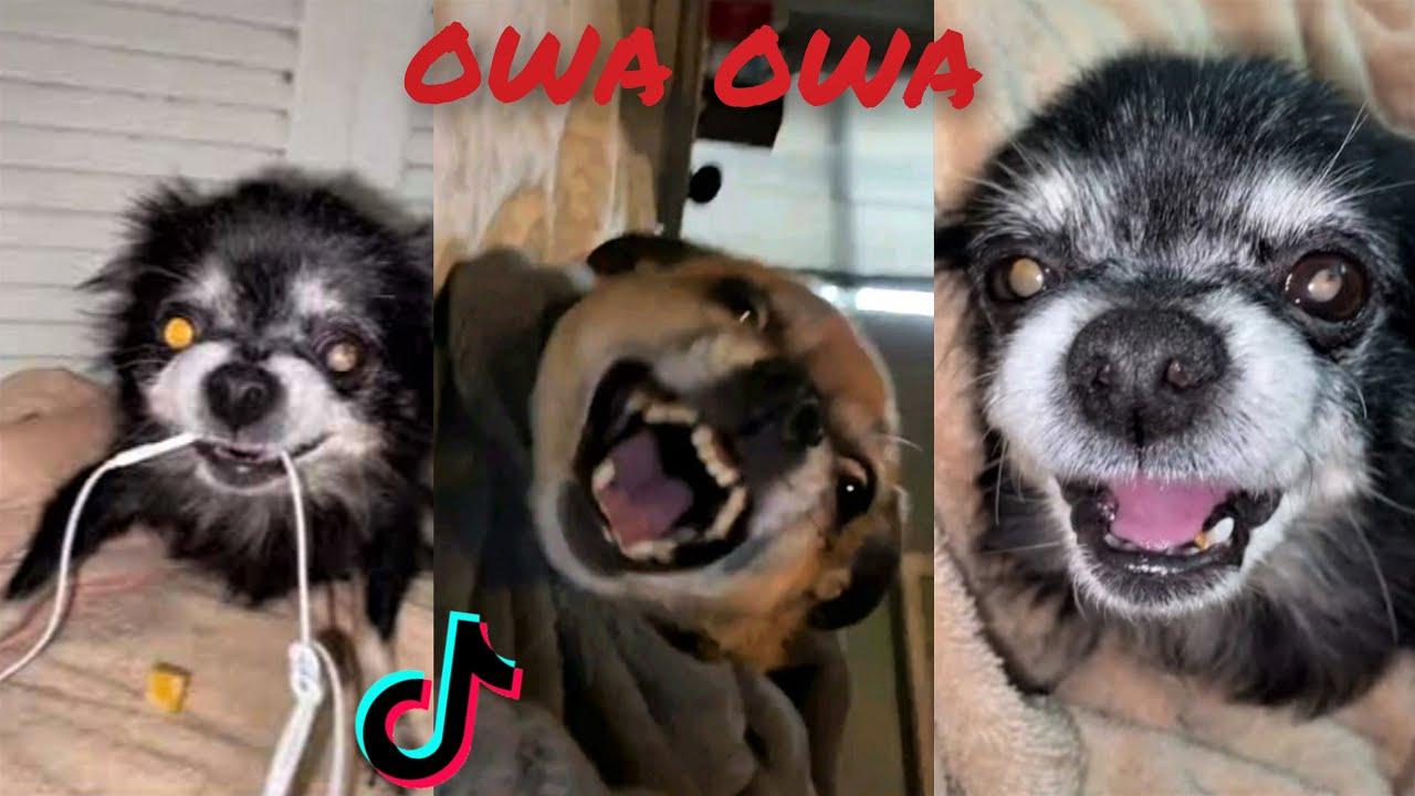 Best Of Owa Owa Dog Tiktok Compilations (Pudgywoke) #17