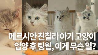 [4묘4색] (ENG) 페르시안친칠라 고양이 입양 후 …