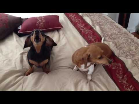 Dachshunds Cry When Told 'I Love You'