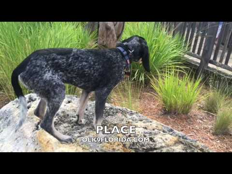 5 Month Blue Tick Coonhound LEROY | Obedience Training Video | Space Coast Dog Trainers