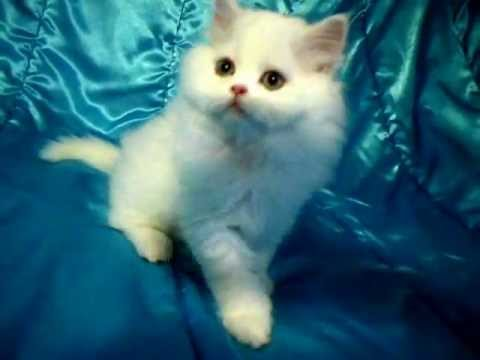 White Baby Kittens With Blue Eyes CFA White Kitten with ...