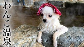 ポメチ ぷくぷく ミックス犬のポメチワはどんな犬?性格や寿命、鳴き声までをご紹介