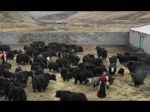 Les bergers du Qinghai sortent de la pauvreté