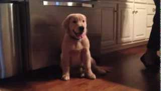 Boomer: The Golden Retriever Puppy 2.0