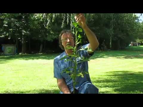 USEING WILD LETTUCE FOR PAIN