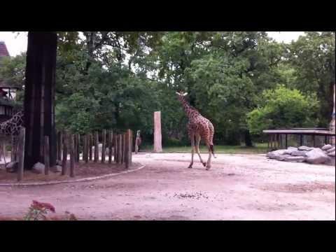 Reticulated or Somali Giraffe [Netzgiraffe] at Berlin Zoo, Germany. 14 July 2011