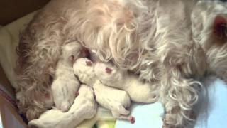 2011.01.11 我が家のミルキー(ウエストハイランドホワイトテリア)が5匹の子犬を出産...