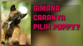 Download Video KENAPA PILIH ANUBIS?! | ANUBIS THE BELGIAN MALINOIS MP3 3GP MP4