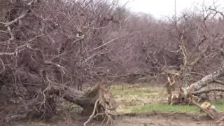 USA КИНО 1051. Американские фермы. Уничтожение яблоневого сада
