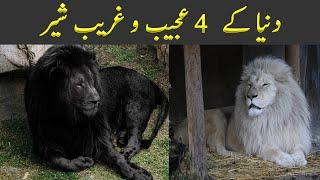 4 Unique Lions in the World Urdu