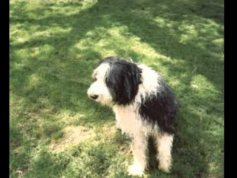 Bearded Collie Facts - Facts About Bearded Collies
