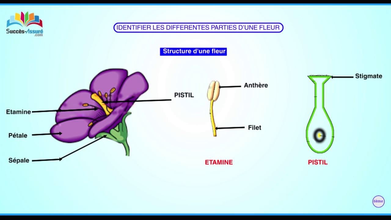 Comment La Fleur Des Plantes Se Presente T Elle Youtube