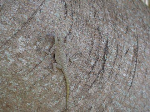Herping Bark Anole Lizards