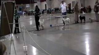 Parti Poodle Ukc Show Part 2 12/12/09
