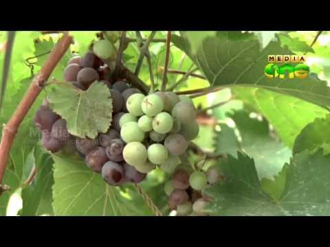 Grape cultivation in Aluva