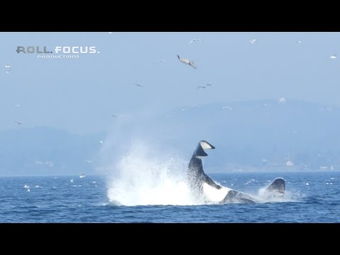 Thumbnail: Transient orca punts a seal 80 feet into the air near Victoria, BC!