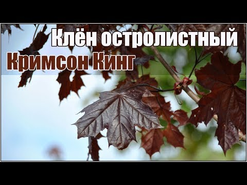 Как выглядят клены осенью