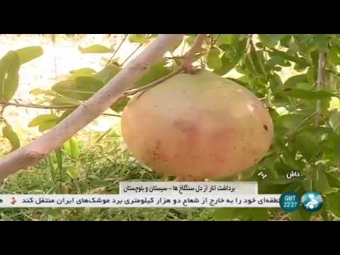 Iran Pomegranate harvest, Sangan rural district, Khash county برداشت انار دهستان سنگان خاش