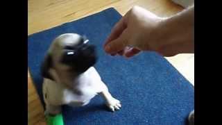 Chief The Pug - Pug Training