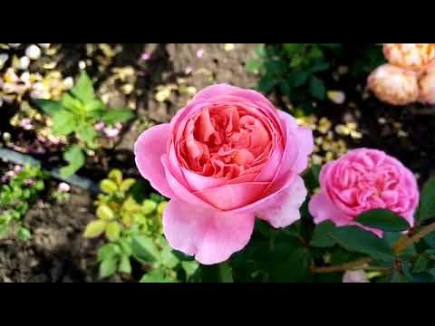 Роза - Боскобель