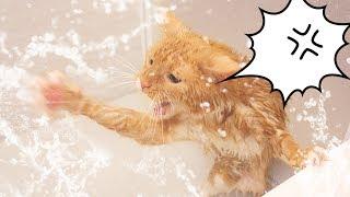 茶トラ猫の「ちゃい」が、お風呂でシャワーに喧嘩を売っています。出て...
