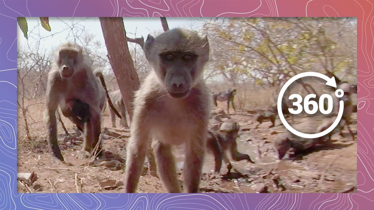A Troop of Chacma Baboons March Through the Mud   Wildlife in 360 VR