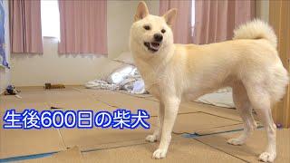生後600日の柴犬