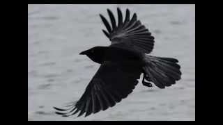 Ворон и Ворона в чем разница.