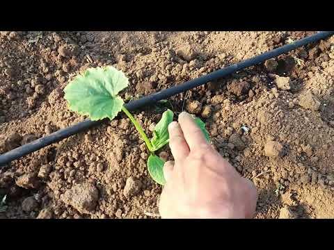 Выращивание в теплице . Как получить очень ранний кабачек / высадка кабачка в теплицу 10 апреля