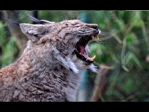 Wildlife Predator Cat - Lynx (Nat Geo Wild)