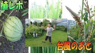 植レポ≫ りょういちの植物レポート 台風で、トウモロコシは倒れてしまい...