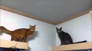 猫ハプニング!天井にくっついてるハエが気になって・・・ thumbnail