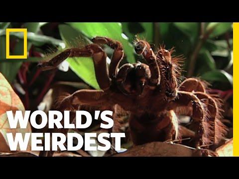 World's Biggest Spider   World's Weirdest