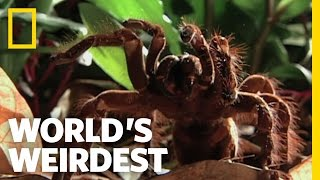 World's Biggest Spider | World's Weirdest