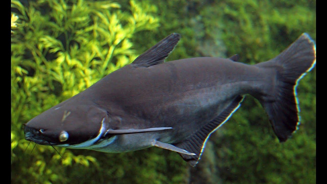 Pangasianodon hypophthalmus (Iridescent Shark, Пангасиус ...